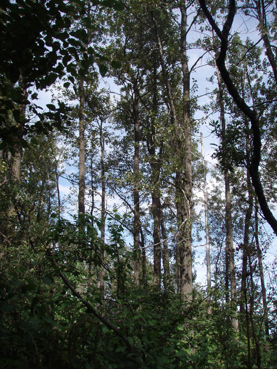 Large trees with tall straight trucks grow up from a thick shrubby understory.